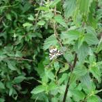 Harlekin sommerfugl fotograferet på øen.
